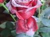 Роза с белым флоком